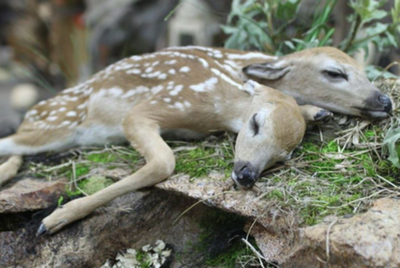 two-headed fawn