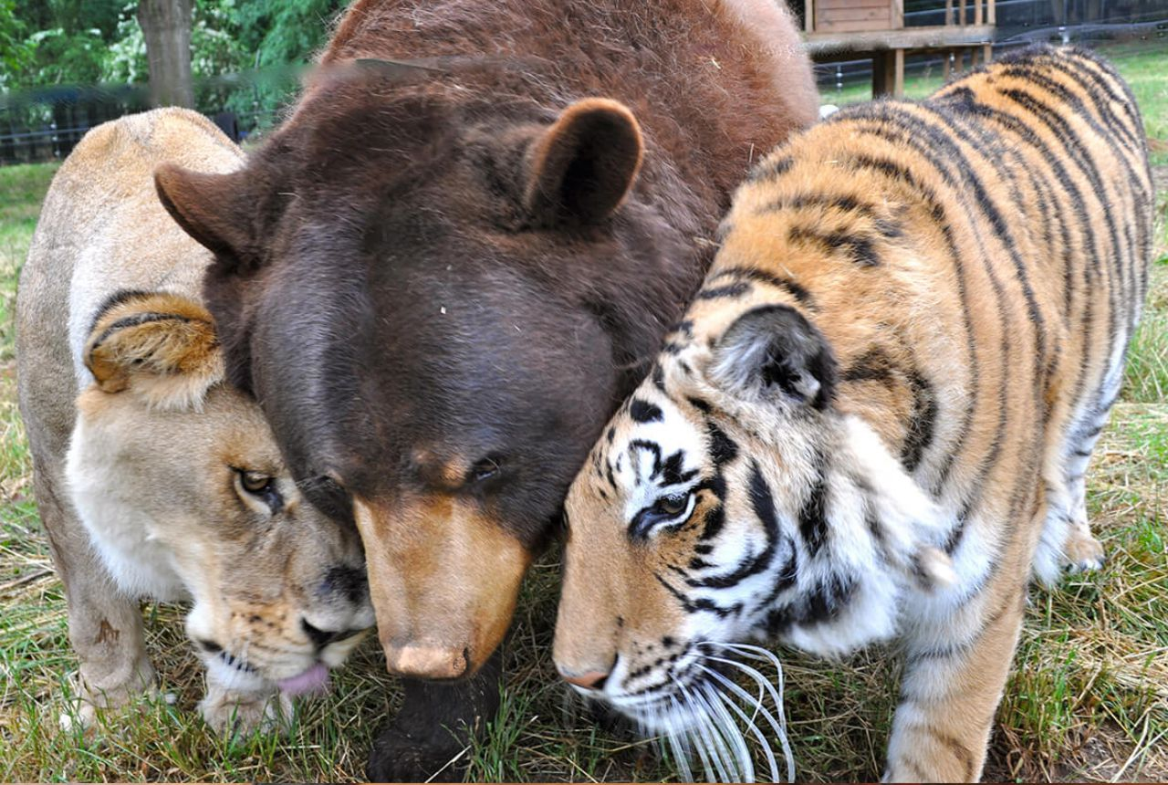 bear and lion and tiger friends