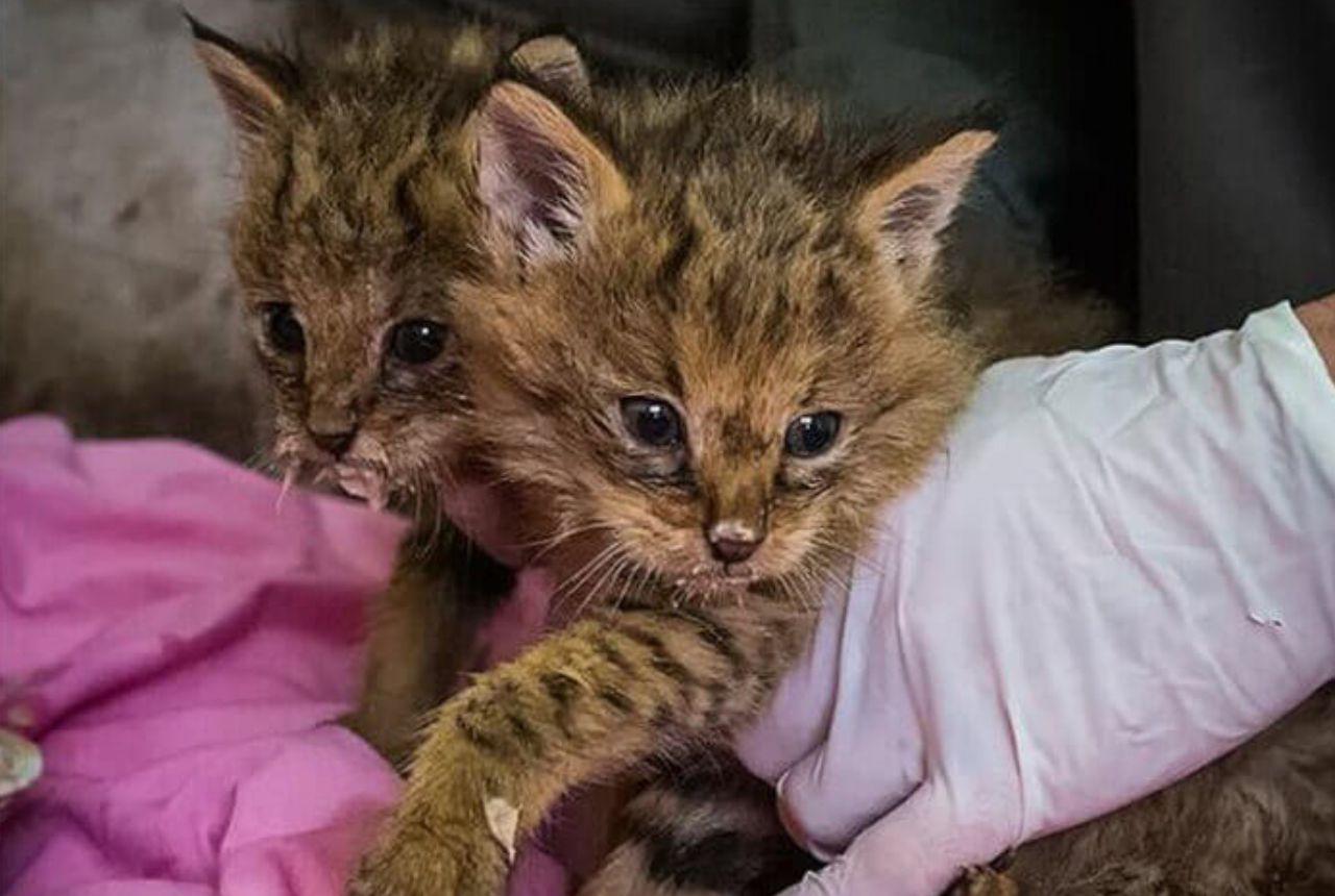 Bizarre-Looking Kittens